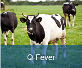 Q-Fever
